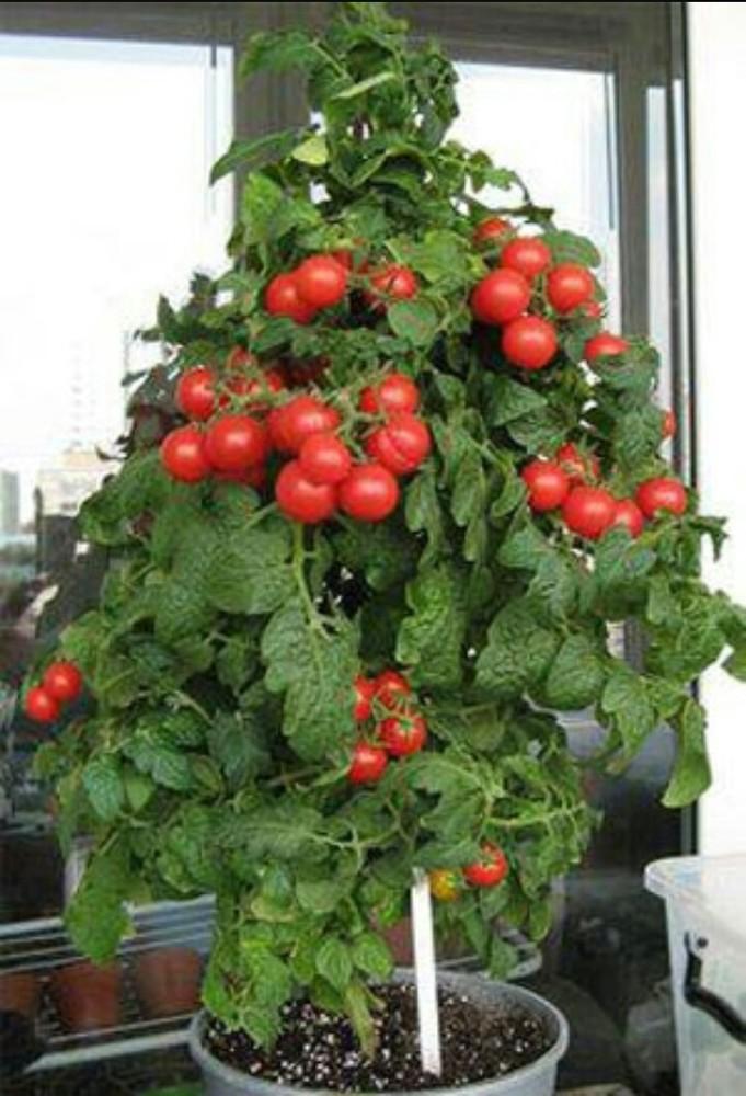 Зимнее выращивание томатов 23
